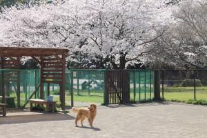 桜のドッグラン