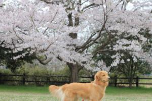 桜とブロンディ